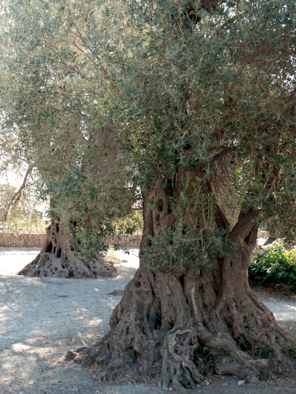 Olive trees at Górtys