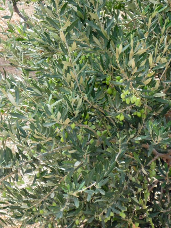 Juvenile olives