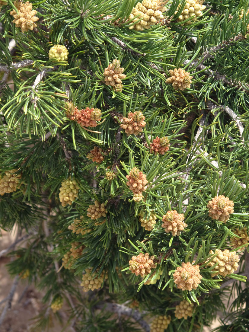 Piñon pine with new cones